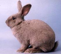 Beveren Tavşanı Irkı