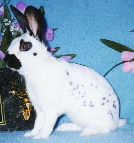 İngiliz Tavşanı Irkı