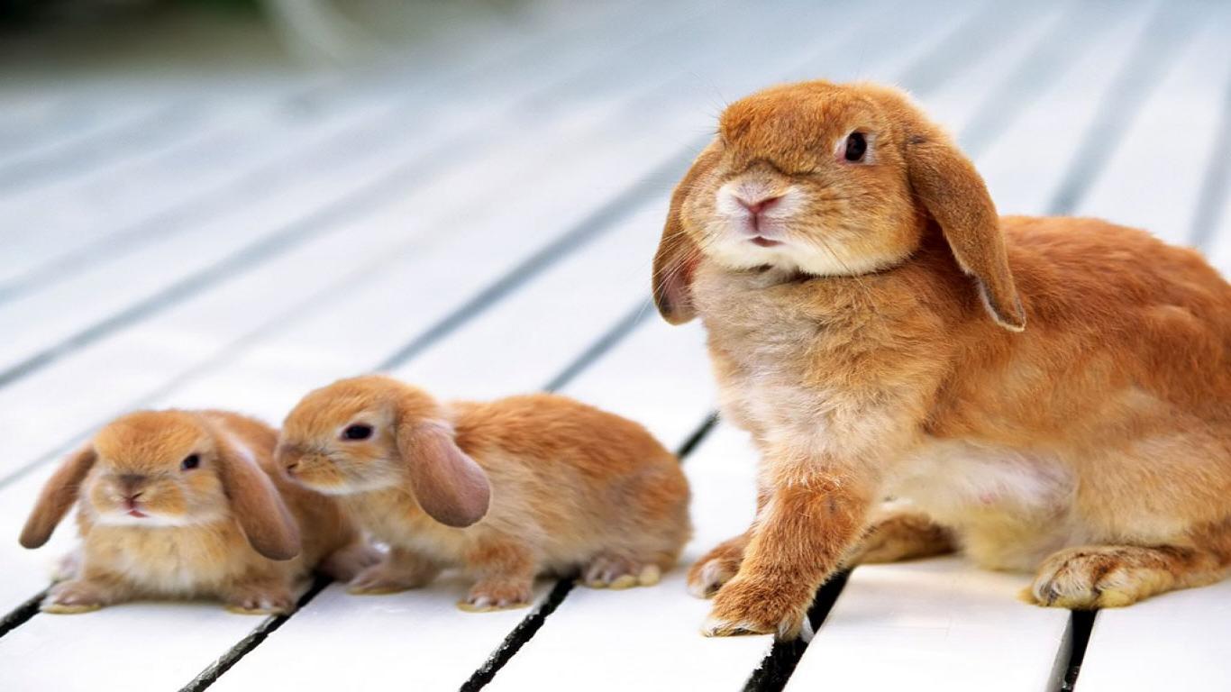 Anne Tavşanlar ve yavru tavşanlar
