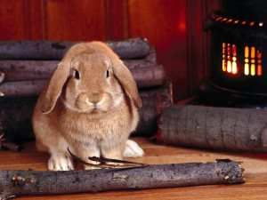 Tavşanda Diş Gıcırdatma Neden Olur?