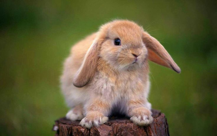 Tavşanlarda Kokma Sorunu Var mı? Tavşanlar Kokar mı ?