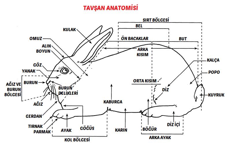tavsan-anatomisi