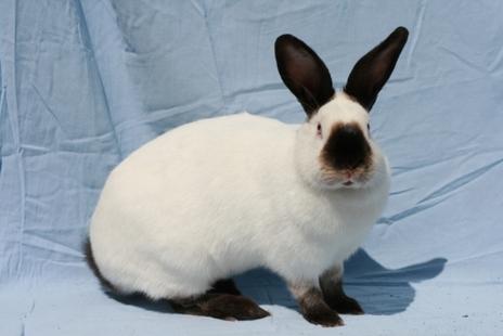 Kaliforniya Tavşanı Irkı