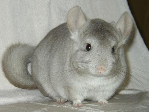 Şinşilla Tavşanı Irkı