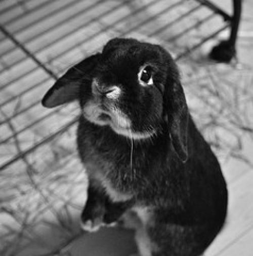 Belçika Tavşanı Irkı