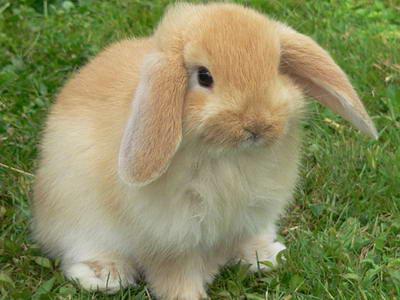 Viyana Tavşan Irkı