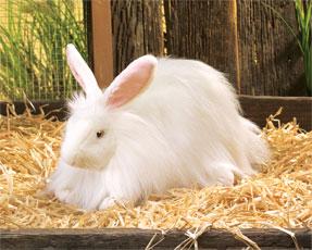Ankara Tavşanı Irkı Özellikleri