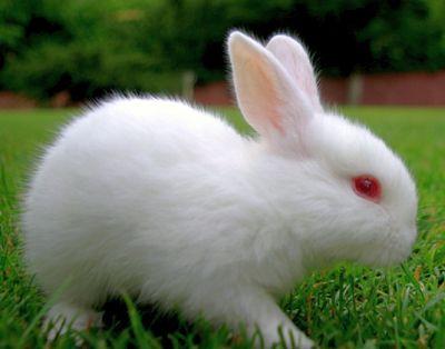 Rex Tavşanı Irkı