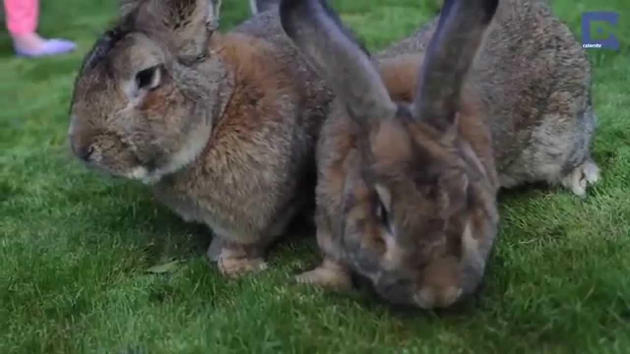 Gümüş(Argente) Tavşan Irkı - Dünya'nın En büyük Tavşan Ailesi
