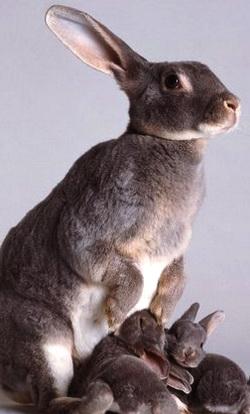 Havana Tavşanı Irkı
