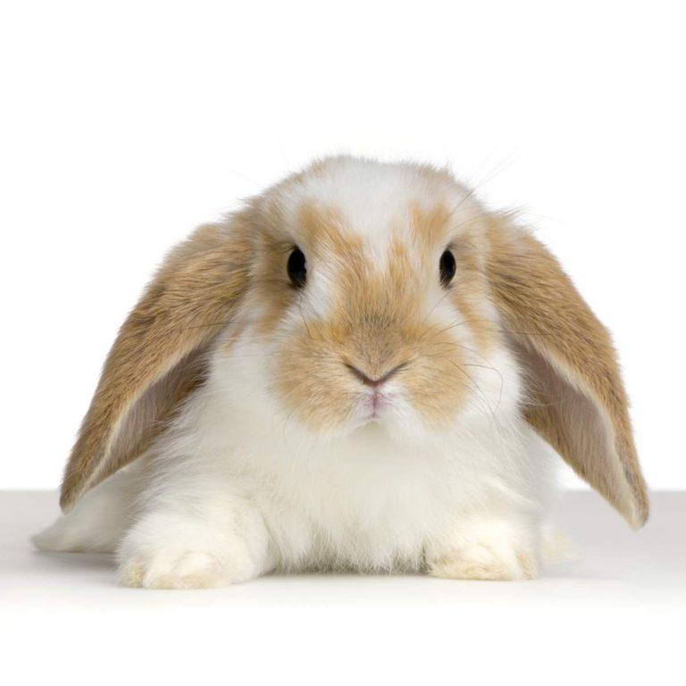 Lop Tavşanı Özellikleri ve Tavsiyeler