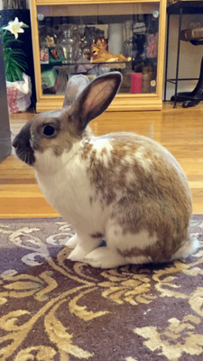 Beveren Tavşanı Resmi 2