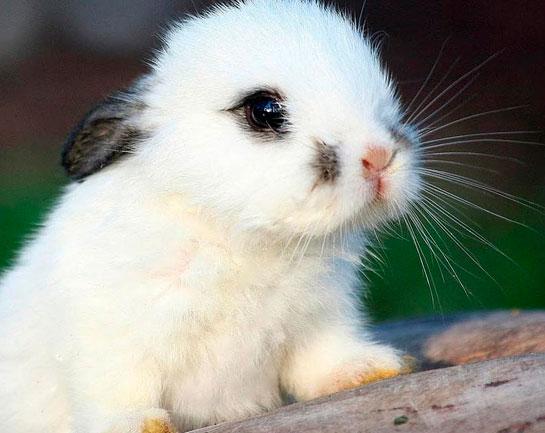 Tavşanlarda Göz Akıntısı Nedenleri ve Tedavisi
