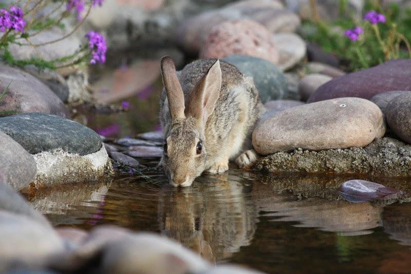 Tavşanlar Su İçer mi ?