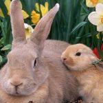 Tavşanlarda Çiftleşme ve Çoğalma
