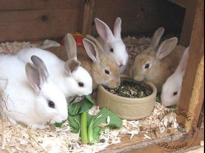 Tavşanda Hamilelik Belirtileri