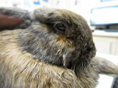 Tavşanda İltihap (Pasteurella Mikrobu Hastalığı)