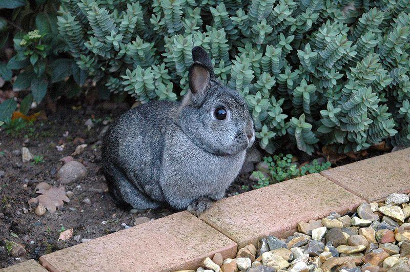 Cüce Tavşan Resmi