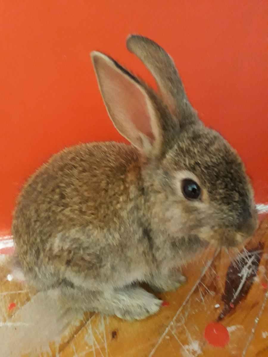 Onur'un Tavşanı