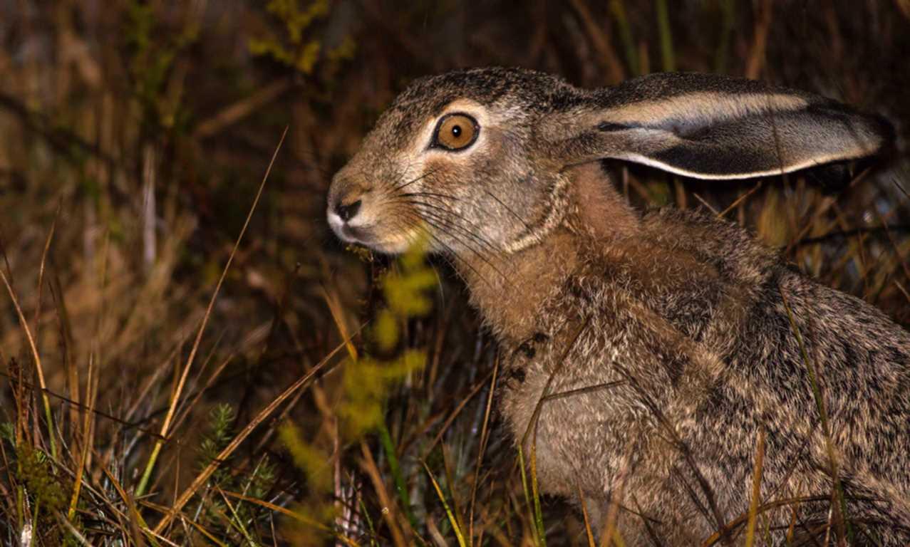 Yaban Tavşanı
